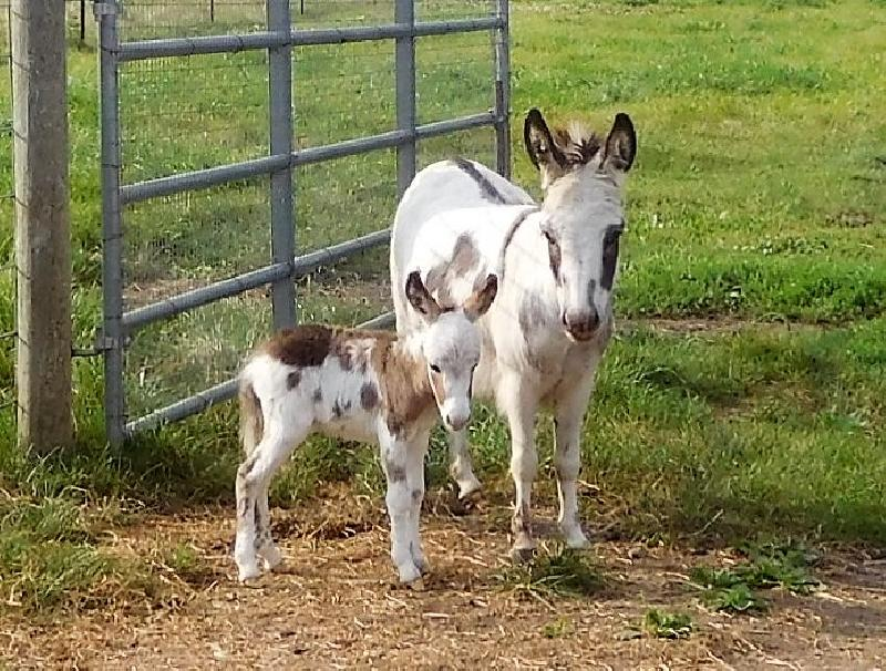 Storyland's Caspian T- Sold to S&B Miniature Donkeys